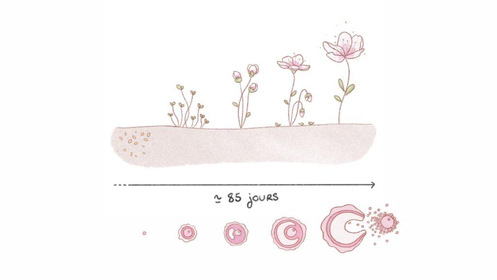 Durée du cycle de croissance des follicules