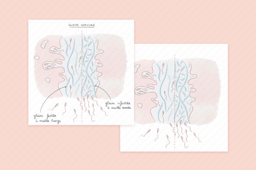 Glaire fertile-infertile